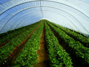 crops in covered greenhouse