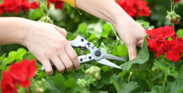 person using hand pruners to prune a flowering plant