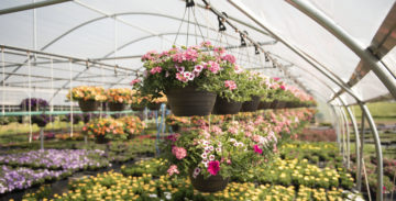 growing flowers in a greenhouse